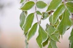 W jesiennym Listopad zamarznięci leafes Zdjęcia Royalty Free