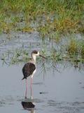 W jeziornym Chilika czarny oskrzydlony stilt, India Zdjęcie Royalty Free