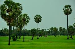 W Kambodża Rice pole Zdjęcie Royalty Free