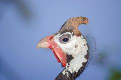 W kasku guineafowl Zdjęcia Royalty Free