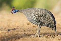 W kasku Guineafowl Botswana (Numida meleagris) Zdjęcia Royalty Free