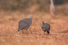 W kasku guineafowl, numida meleagris Fotografia Stock