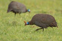 W kasku Guineafowl - Numida meleagris Obrazy Stock