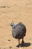 W kasku guineafowl Numida meleagris Zdjęcie Royalty Free