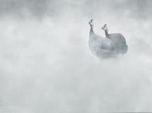 W kasku guineafowl Numida meleagris w mgle, Zdjęcie Stock