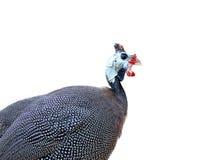 W kasku Guineafowl odizolowywający na białym tle (Numida meleagris) Zdjęcia Royalty Free