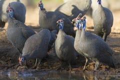 W kasku Guineafowl pije, Botswana (Numida meleagris) Fotografia Stock