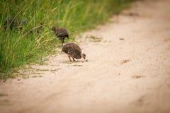 W kasku guineafowl pisklęcy łasowanie Fotografia Stock