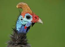Gwinei ptactwo Obraz Stock