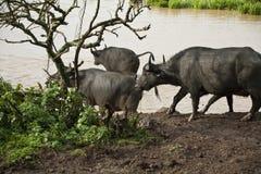W Kenja afrykański bizon Obraz Stock