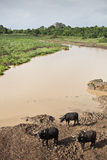 W Kenja afrykański bizon Fotografia Royalty Free
