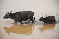W Kenja afrykański bizon Zdjęcia Royalty Free