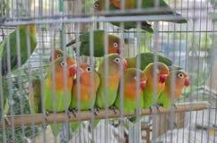 W klatce klatki lovebirds zdjęcie royalty free