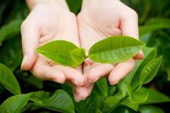 W kobiet rękach młodzi herbaciani liść Obrazy Royalty Free