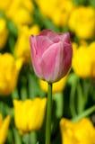 W kolor żółty czerwony tulipan ones obrazy stock