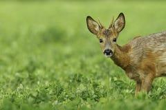 W koniczynowej łące roe młoda samiec Zdjęcia Stock