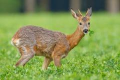 W koniczynowej łące roe młoda samiec Obraz Royalty Free