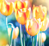 w kontekście niebieskie chmury odpowiadają trawy zielone niebo białe wispy natury streszczę tulipany miękka Zdjęcie Stock