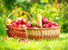 W Koszu organicznie Jabłka. Sad zdjęcia stock