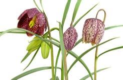 w kratkę daffodil Fotografia Royalty Free
