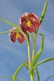 W kratkę daffodil Zdjęcie Royalty Free