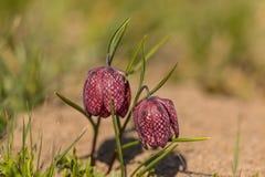 W kratkę leluja - Fritillaria meleagris zdjęcie stock