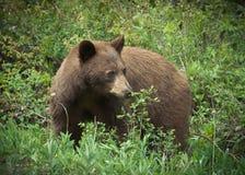 W krzaku Brown Niedźwiedź Zdjęcie Stock