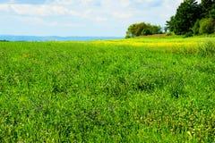 W kwiacie Alfalfa pole Fotografia Royalty Free