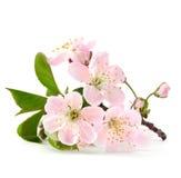 W kwiacie czereśniowa gałązka fotografia royalty free