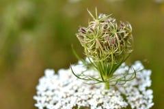 W kwiacie Daucus carota. Fotografia Royalty Free