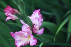 W kwiacie gladiolusów kwiaty Obrazy Royalty Free