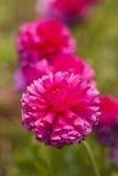 W kwiacie hortensja kwiaty Zdjęcia Stock