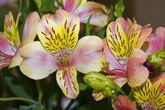 W kwiacie leluja tygrysi kwiat Obrazy Royalty Free