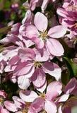 W kwiacie purpurowi kwiaty Fotografia Royalty Free