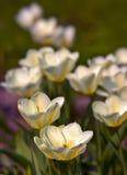 W kwiacie tulipanowi kwiaty Zdjęcie Stock