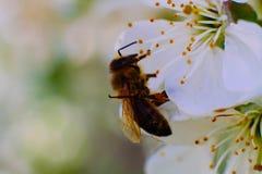 Być w kwiacie Wiosna jest insektem na kwiacie Fotografia Royalty Free