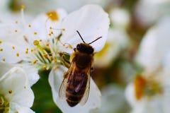 Być w kwiacie Wiosna jest insektem na kwiacie Zdjęcie Royalty Free