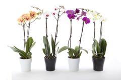 W kwiatu garnku Phalaenopsis orchidee Obrazy Royalty Free