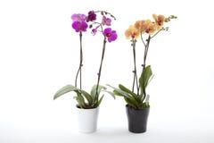 W kwiatu garnku Phalaenopsis orchidee Zdjęcia Royalty Free