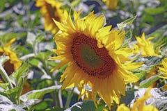 w kwieciści słoneczniki żółte kwiaty Obraz Royalty Free