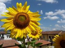 w kwieciści słoneczniki żółte kwiaty Zdjęcia Stock