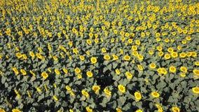 w kwieciści słoneczniki żółte kwiaty Cudowny wiejski krajobraz słonecznika pole w słonecznym dniu Trutnia widok z lotu ptaka zdjęcie wideo