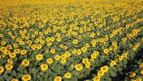 w kwieciści słoneczniki żółte kwiaty Cudowny wiejski krajobraz słonecznika pole w słonecznym dniu Trutnia widok z lotu ptaka zbiory wideo