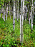 W Lato Brzoz osikowi Drzewa Zdjęcie Royalty Free
