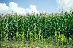 W lato kukurydzy pole Obraz Stock