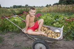 W lecie, w ogródzie, chłopiec w wheelbarrow niesie potat zdjęcia royalty free