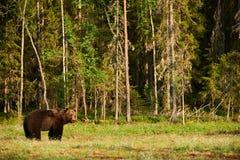 W lesie Brown duży Niedźwiedź Obraz Stock