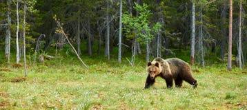 W lesie Brown duży Niedźwiedź Zdjęcia Stock