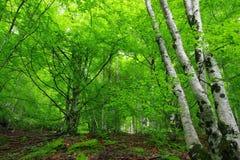 W lesie, widok drzewa: brzozy i inni drzewa, obrazy royalty free