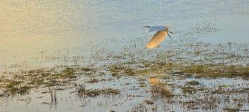 W Locie biały Egret Zdjęcia Stock